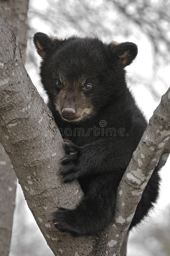 Small Cute Baby Wallpaper Download Black Bear Cub In Tree Stock Image Image Of Baby Black