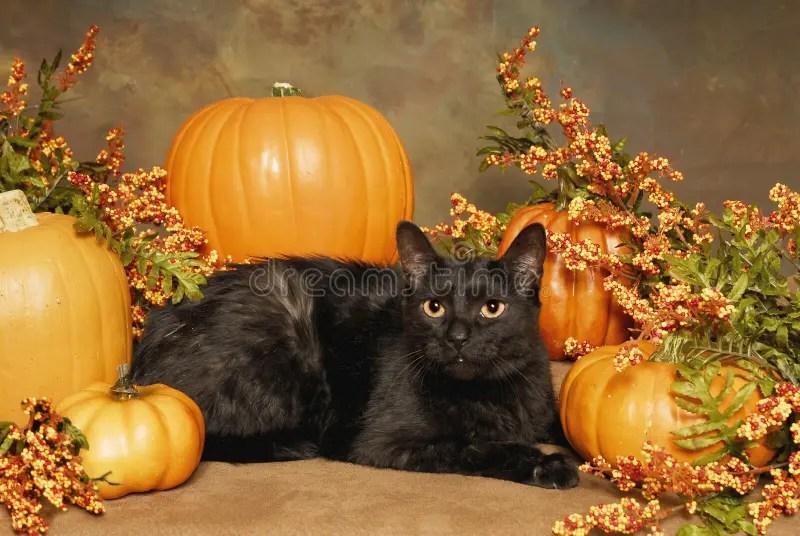 Black Cat Fall Wallpaper Black Cat And Pumpkins Royalty Free Stock Images Image