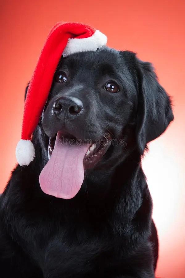Black Animal Print Wallpaper Black Labrador Retriever Wearing Red Cap Of Santa Stock