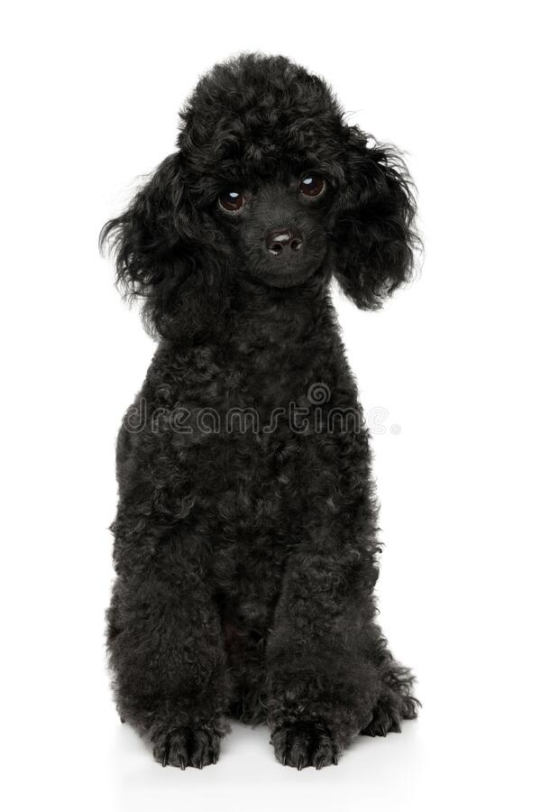 Black Teacup Poodle : black, teacup, poodle, Black, Poodle, Puppy, Photos, Royalty-Free, Stock, Dreamstime