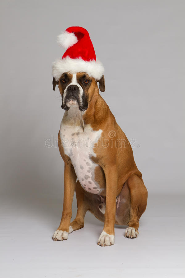 Boxer Dog In Santa Hat Stock Image Image Of Sitting