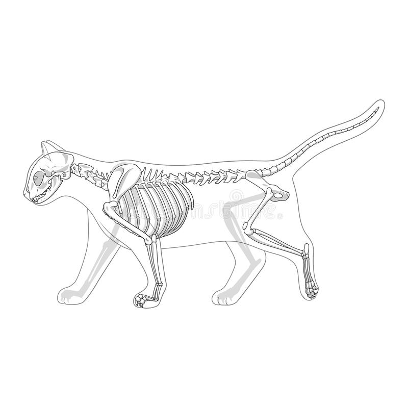Cat Skeleton Veterinary Vector Illustration Stock Vector