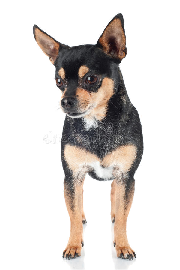 Chihuahua Dog Standing Portrait Royalty Free Stock Images