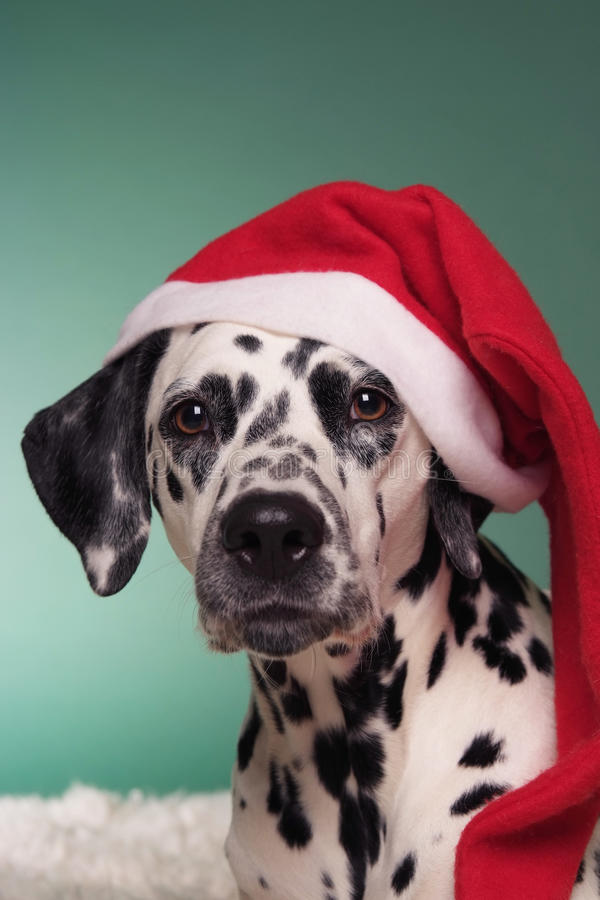 Christmas Dalmatian Stock Image Image Of Dogs Chew