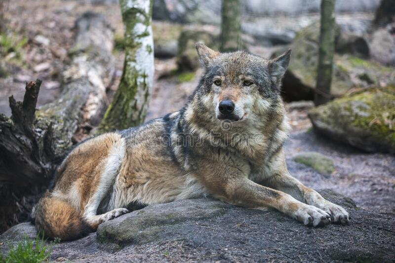At the other extreme is the boreal forest. Old Gray Wolf Licks Paw Lying On The Ground Stock Image Image Of Loner Fauna 129383407