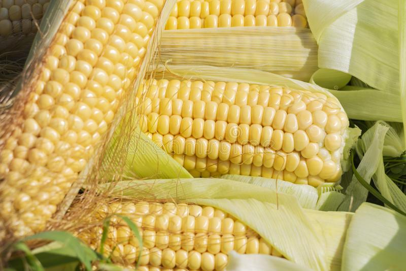 corn stalk stock images