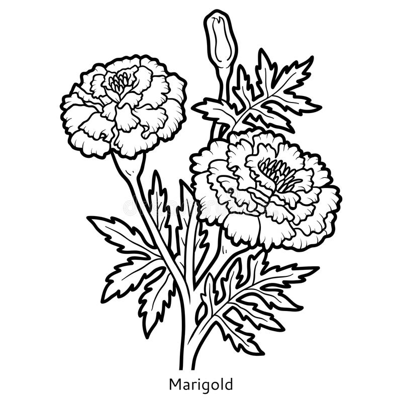 Marigold Coloring Download Marigold Coloring