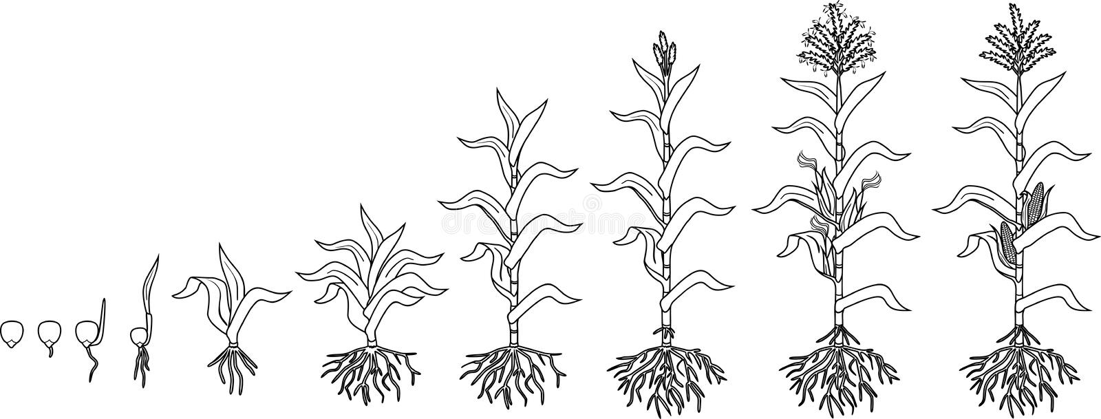 Corn coloring page stock illustration. Illustration of