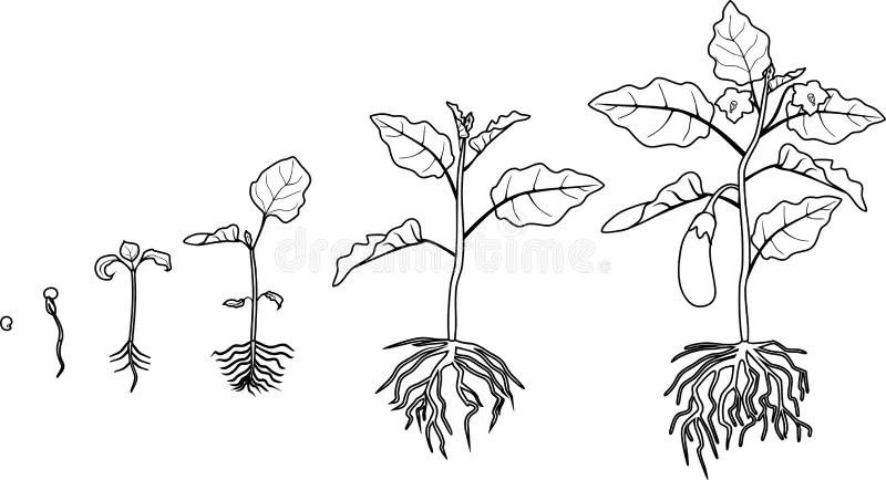 Eggplant Root Stock Illustrations