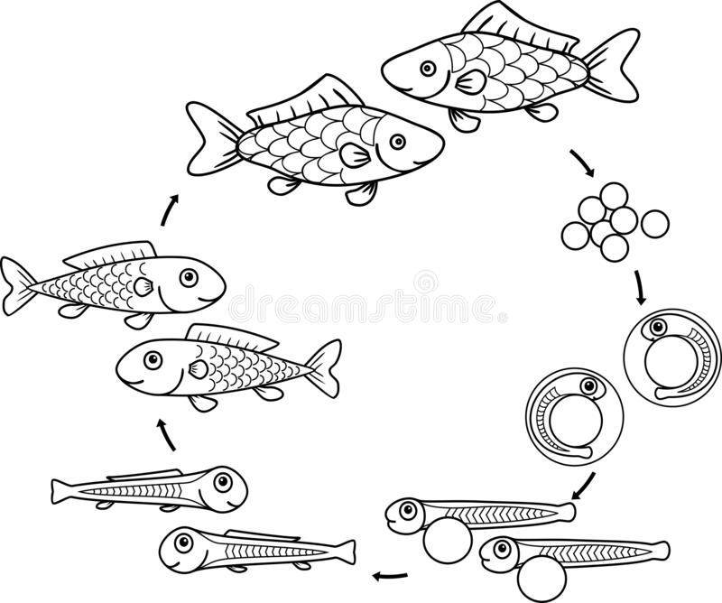 Fish life cycle stock vector. Illustration of freshwater