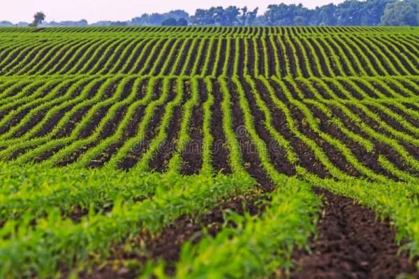 corn farming field making popcorn