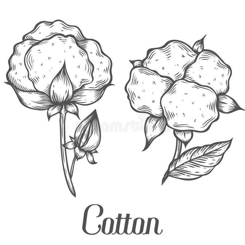 Hand Drawn Cotton Plant Vector