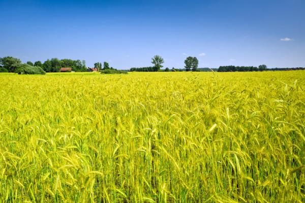 countryside landscape with corn