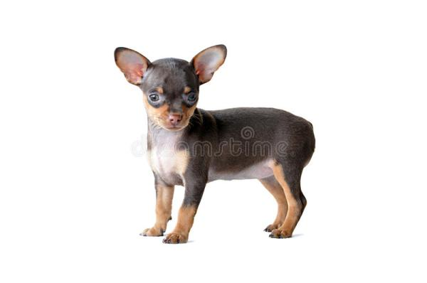 Cute Dark Brown Chiwawa Dog Stock Photo Image of puppy