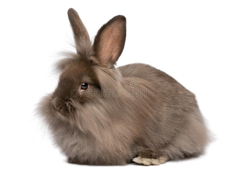 Cute White Baby Rabbits Wallpapers A Cute Lying Chocolate Lionhead Bunny Rabbit Stock Image
