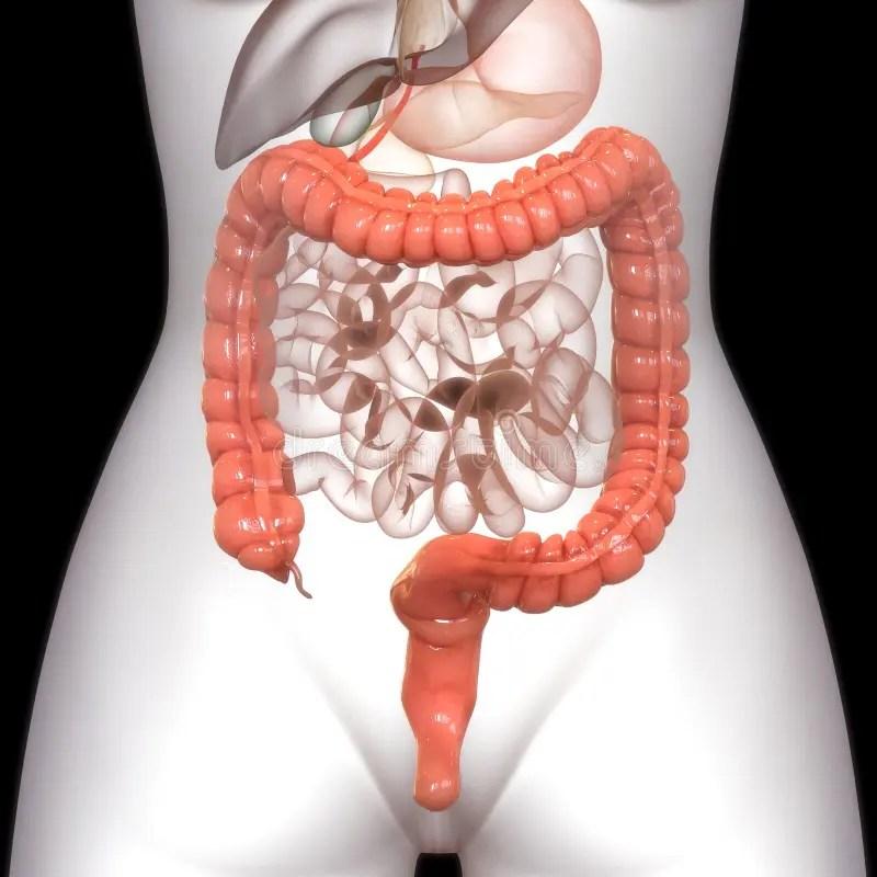 Human Body Organs Digestive System Stomach Anatomy Stock ...