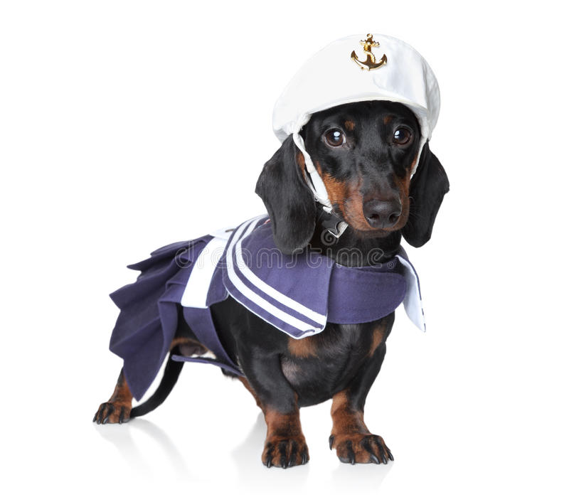 Dachshund In Fashionable Clothes Stock Image