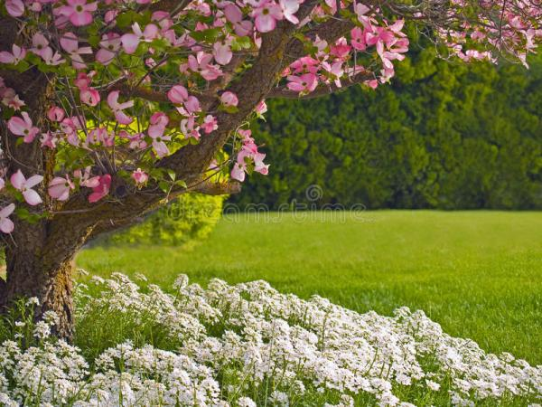 dogwood tree landscape stock