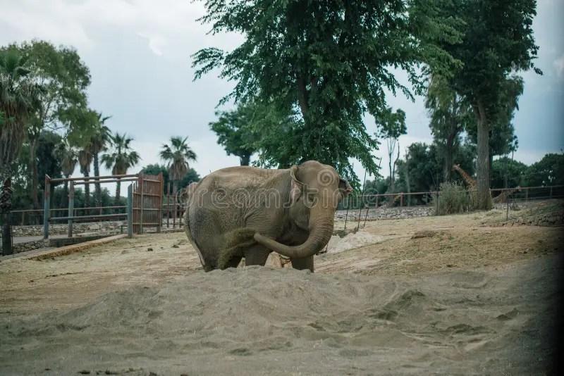 Elephant In Safari Zoo Fasano Apulia Italy Stock Photo - Image of africa. jeepsafari: 117678898