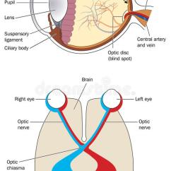 Human Eye Diagram Blind Spot Duncan Wiring Diagrams The And Visual Cortex Stock Vector - Image: 54108401