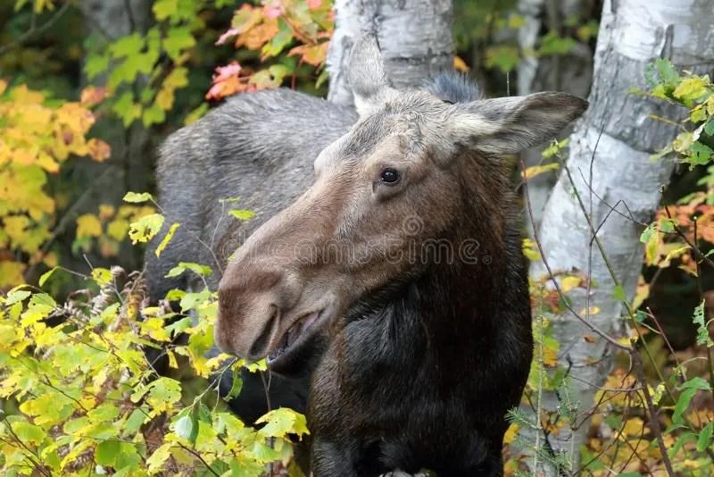 Female Moose stock photo. Image of tree. making. autumn - 17192182