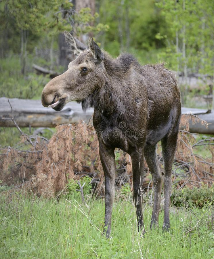 Female moose stock image. Image of water. laying. morni - 35261963