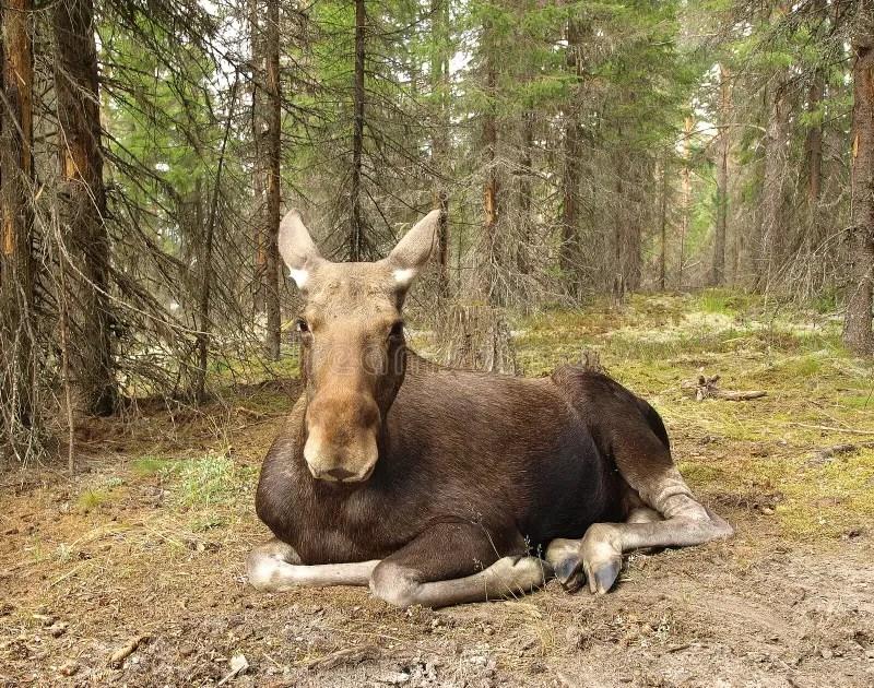 Female moose stock image. Image of silence. full. moosefarm - 35261963