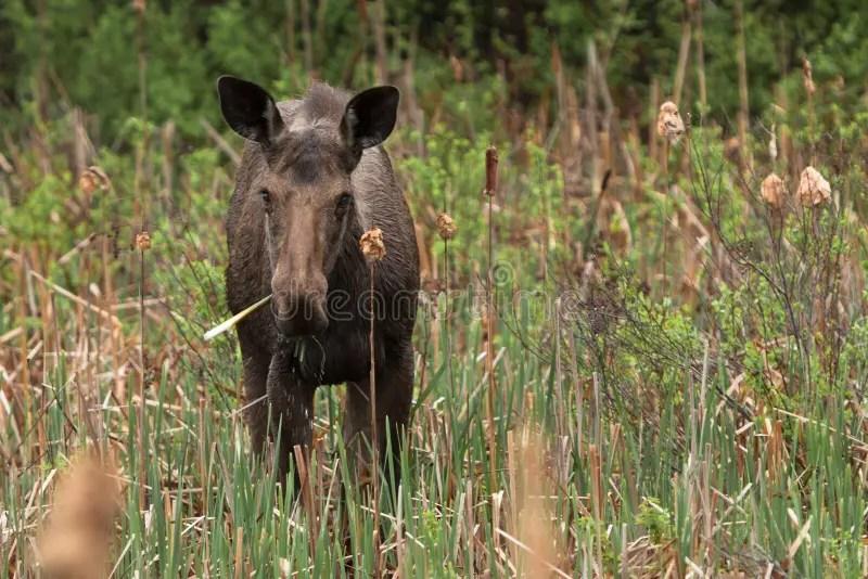 Female Moose stock image. Image of spring. scene. beauty - 31176023