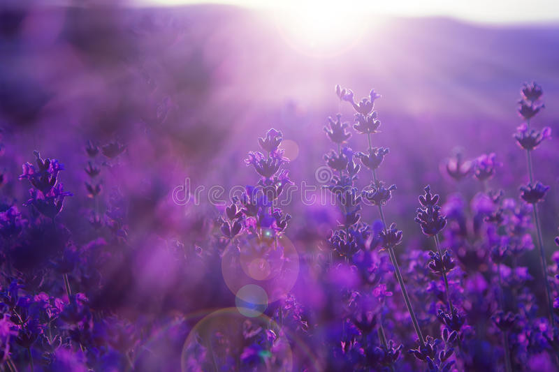 Lavender Herbs Dying Light