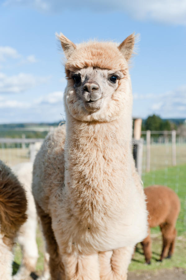 Images Of Cute Babies Wallpaper Free Download Fluffy Young Alpaca Stock Image Image Of Llama Brown