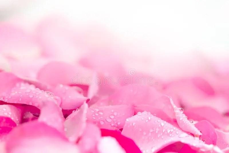 Fresh Light Pink Rose Petal Background With Water Rain