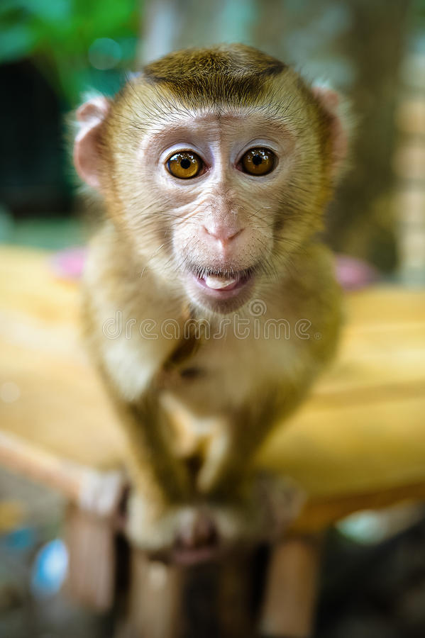 Funny Monkey Pictures Images : funny, monkey, pictures, images, 32,458, Funny, Monkey, Photos, Royalty-Free, Stock, Dreamstime