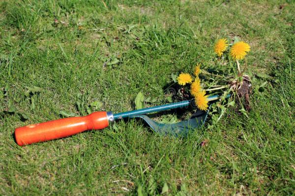 Garden Tool For Manual Weed Removal On Lawn Stock Photo