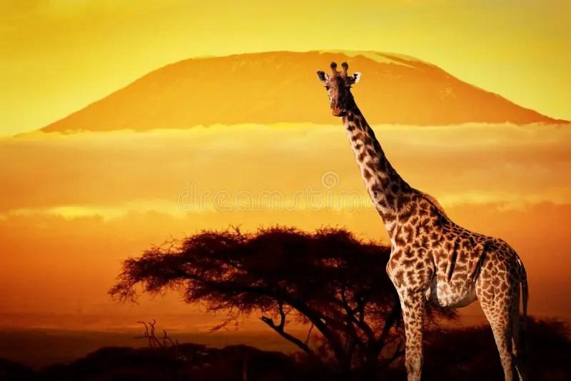 Silhouette Girl Real Wallpaper Giraffe On Savanna Mount Kilimanjaro At Sunset Stock