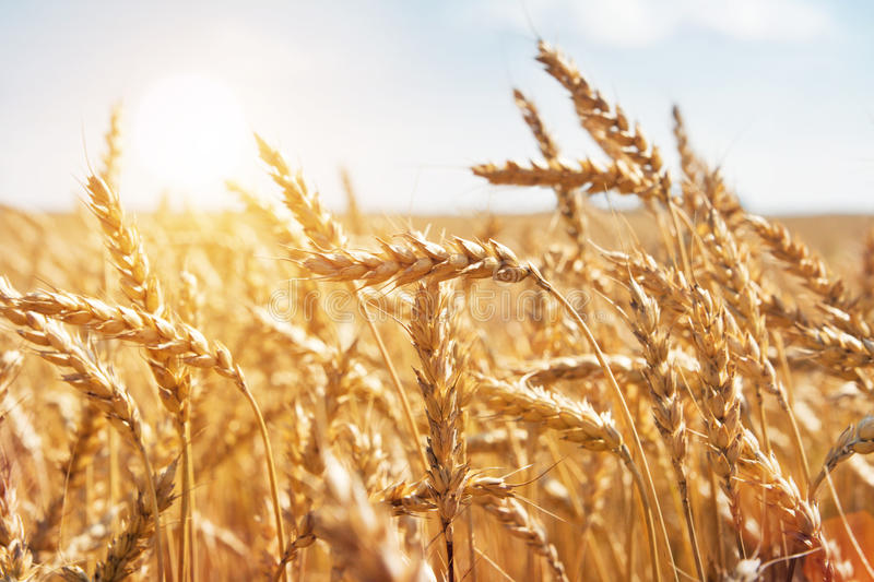 Interfacelift Fall Wallpaper Grain In A Farm Field And Sun Stock Image Image Of