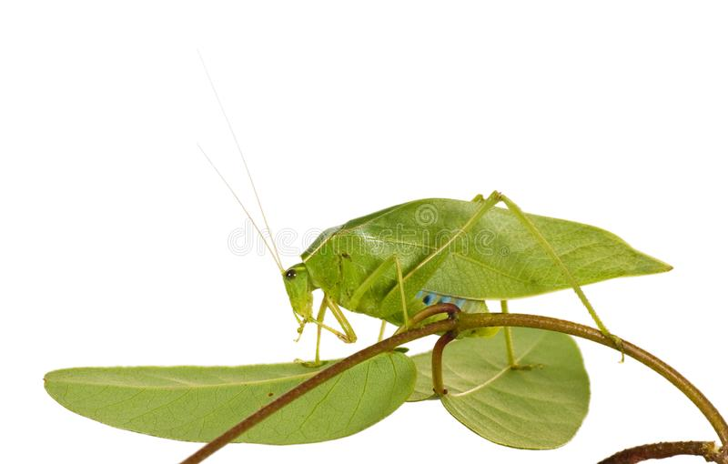 Green Grasshopper With Wings Like Leaves Stock Photo ...