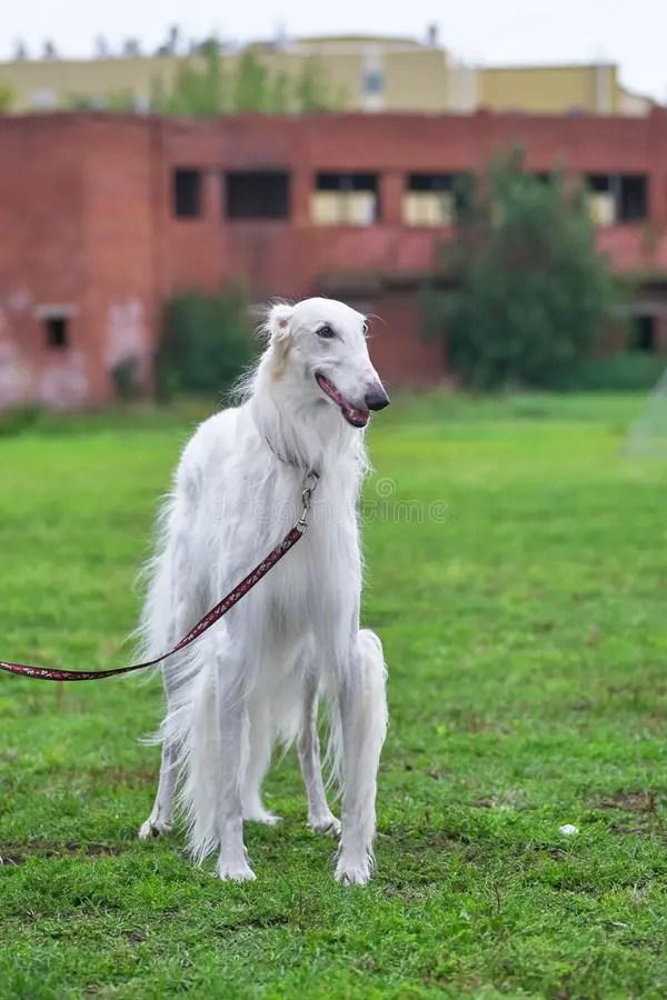 Long Haired Greyhound Dog : haired, greyhound, Greyhound, White, Close-up, Stock, Photo, Image, Companion,, Friend:, 124926936