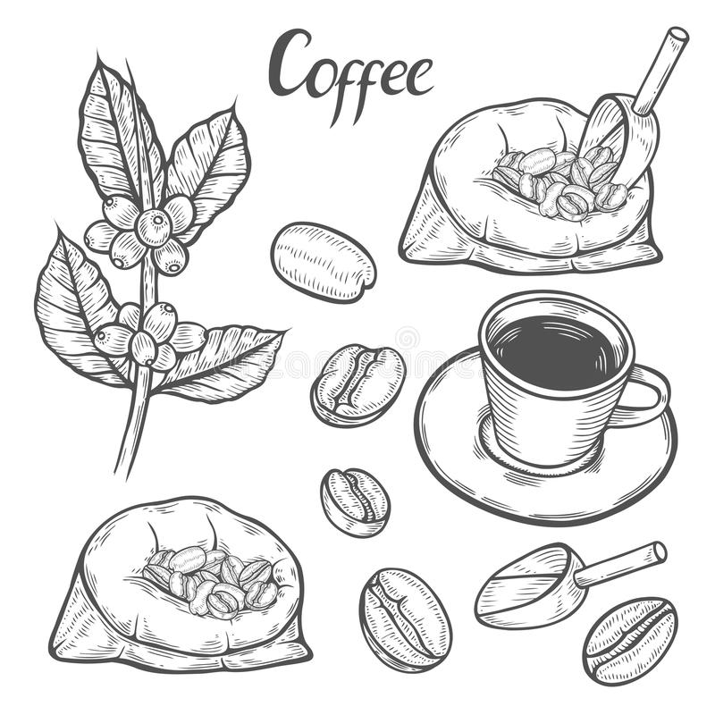 Coffee Plant Branch With Leaf, Berry, Coffee Bean, Cup