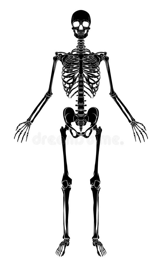 Human Skeleton stock vector. Illustration of bones