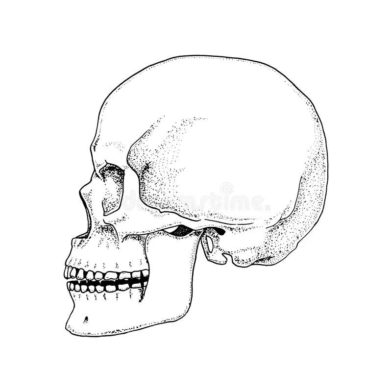 Hand Drawn Human Skeleton Vector Illustration