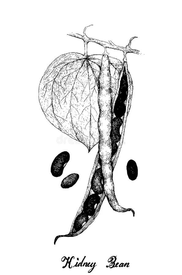 Kidney in hand stock illustration. Illustration of