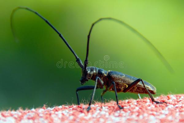 Insect With Long Antennae Stock Images Image 13276784