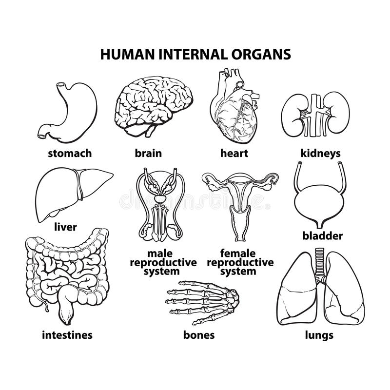 The Internal Organs Of Man, Set Stock Vector