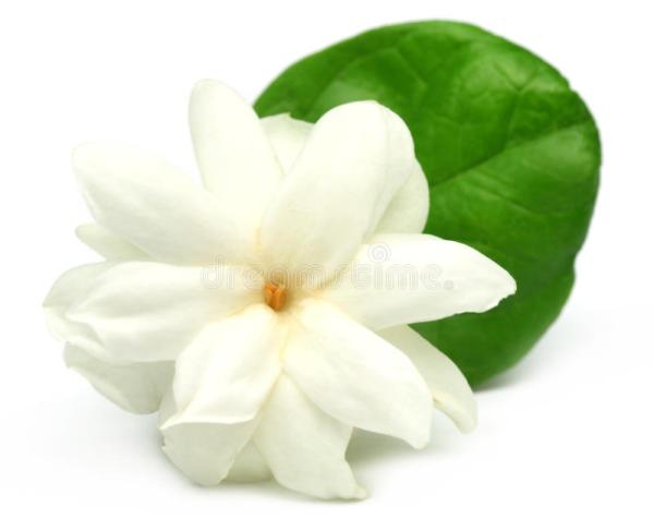 Jasmine flower stock photo Image of greeting detail