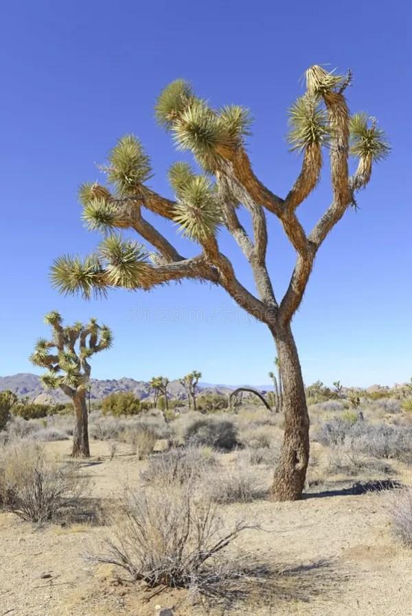 joshua trees in desert landscape