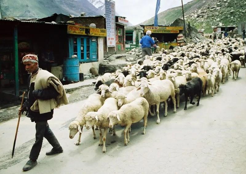 Ladakhi牧羊人 編輯類庫存照片. 圖片 包括有 宗教信仰, 喜馬拉雅山, 牧羊人, 綿羊, 寧靜, 和平 - 27752588