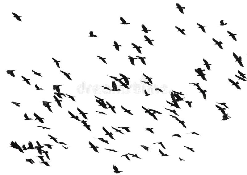 Large Flock Of Snow Geese Taking To Flight Stock Image