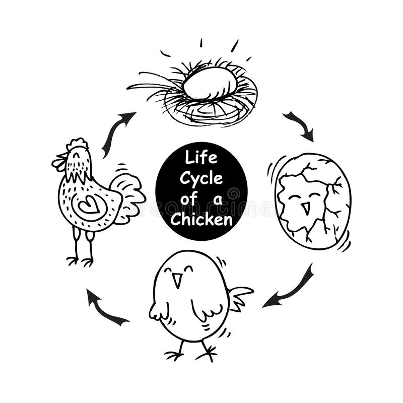 Life cycle of a chicken stock illustration. Illustration