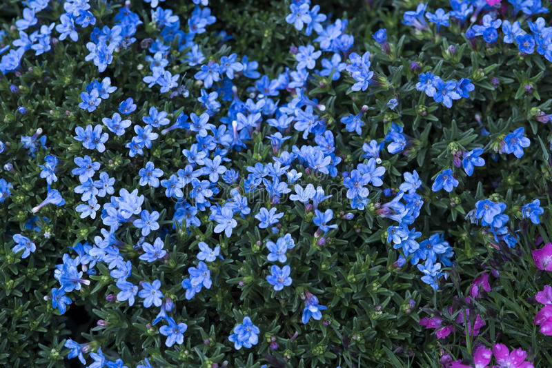 Little Blue Flowers Stock Image Image Of Field, Small