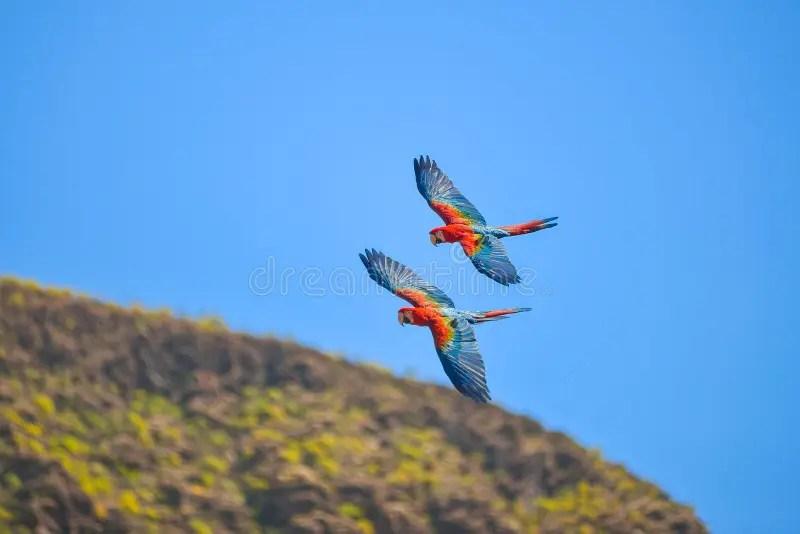 macaw in free flight